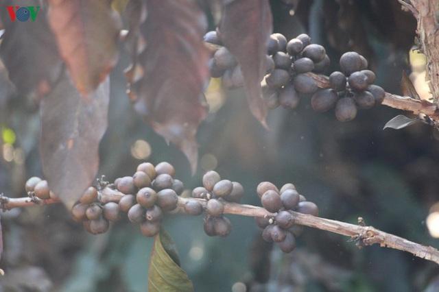 Xót xa cây cà phê chết vì sương muối, nhiều nông dân Sơn La trắng tay - Ảnh 2.