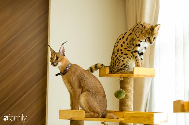 Trang Hà - Cô gái mang những chú mèo trị giá hàng tỷ đồng về Việt Nam và tiết lộ trào lưu nuôi thú cưng mới của giới đại gia và siêu giàu tại Sài Gòn - Ảnh 10.