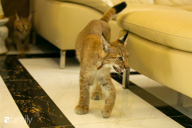 Trang Hà - Cô gái mang những chú mèo trị giá hàng tỷ đồng về Việt Nam và tiết lộ trào lưu nuôi thú cưng mới của giới đại gia và siêu giàu tại Sài Gòn - Ảnh 12.