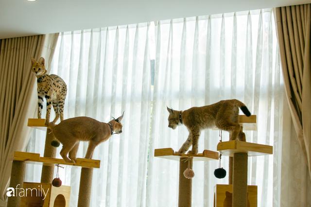Trang Hà - Cô gái mang những chú mèo trị giá hàng tỷ đồng về Việt Nam và tiết lộ trào lưu nuôi thú cưng mới của giới đại gia và siêu giàu tại Sài Gòn - Ảnh 21.