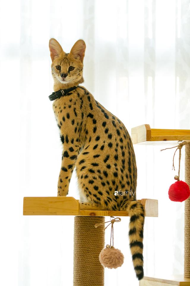 Trang Hà - Cô gái mang những chú mèo trị giá hàng tỷ đồng về Việt Nam và tiết lộ trào lưu nuôi thú cưng mới của giới đại gia và siêu giàu tại Sài Gòn - Ảnh 5.