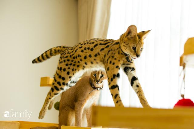 Trang Hà - Cô gái mang những chú mèo trị giá hàng tỷ đồng về Việt Nam và tiết lộ trào lưu nuôi thú cưng mới của giới đại gia và siêu giàu tại Sài Gòn - Ảnh 6.