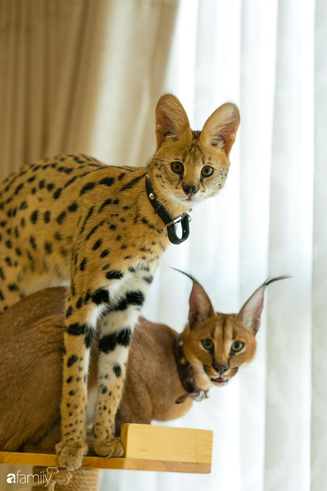 Trang Hà - Cô gái mang những chú mèo trị giá hàng tỷ đồng về Việt Nam và tiết lộ trào lưu nuôi thú cưng mới của giới đại gia và siêu giàu tại Sài Gòn - Ảnh 7.