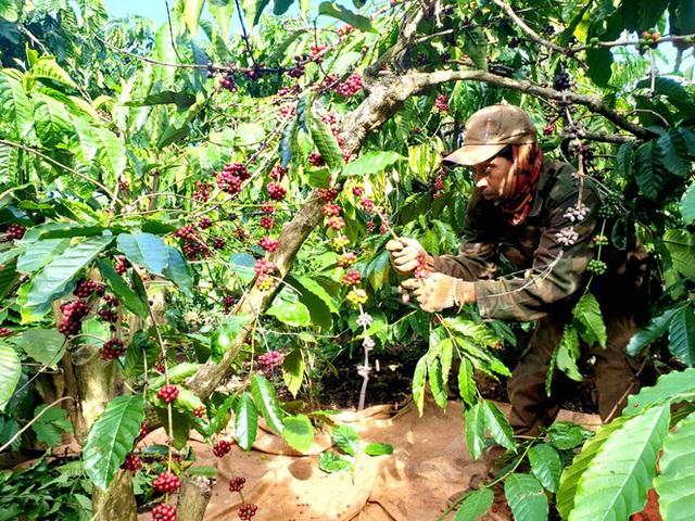 Cà phê chín rộ, nông dân Tây Nguyên hối hả thu hoạch - Ảnh 1.