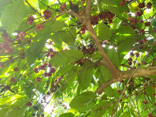 Cà phê chín rộ, nông dân Tây Nguyên hối hả thu hoạch - Ảnh 2.