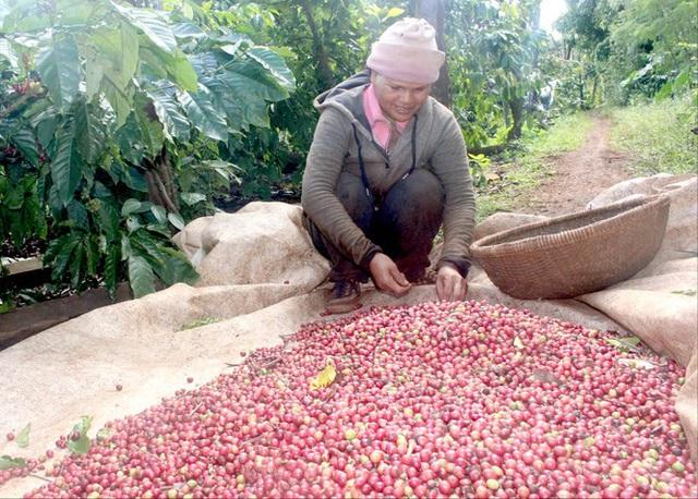 Cà phê chín rộ, nông dân Tây Nguyên hối hả thu hoạch - Ảnh 4.