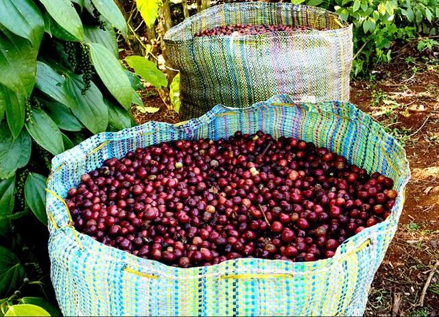 Cà phê chín rộ, nông dân Tây Nguyên hối hả thu hoạch - Ảnh 5.