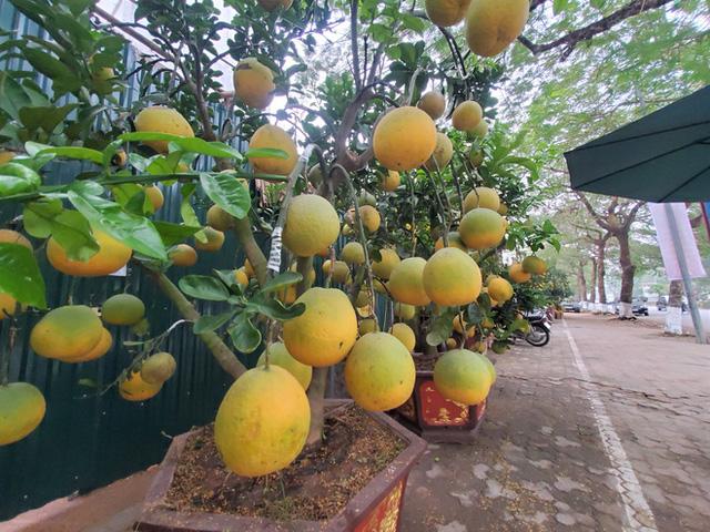 Ngắm vườn bưởi cảnh chơi Tết bạc tỷ ở Hà Nội, 40 triệu đồng/cây 120 quả - Ảnh 1.
