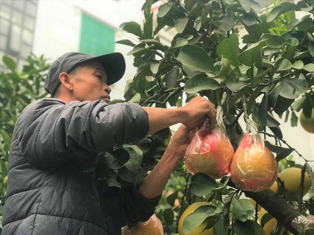 Ngắm vườn bưởi cảnh chơi Tết bạc tỷ ở Hà Nội, 40 triệu đồng/cây 120 quả - Ảnh 11.