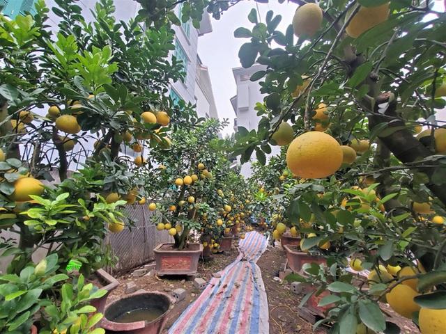 Ngắm vườn bưởi cảnh chơi Tết bạc tỷ ở Hà Nội, 40 triệu đồng/cây 120 quả - Ảnh 5.