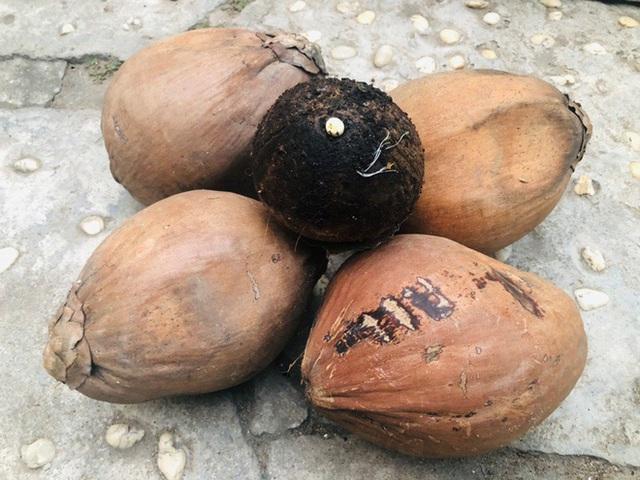 Biến quả dừa khô bỏ đi thành bonsai chuột tiền triệu, chàng thanh niên lãi đậm dịp Tết 2020 - Ảnh 2.