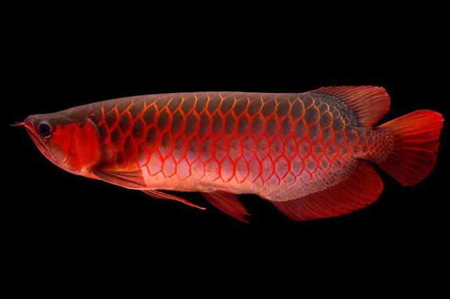 Lịch sử thú chơi cá rồng: Từ món ăn của người lao động đến linh vật tiền tỉ được các gia đình giàu có ưa chuộng - Ảnh 4.