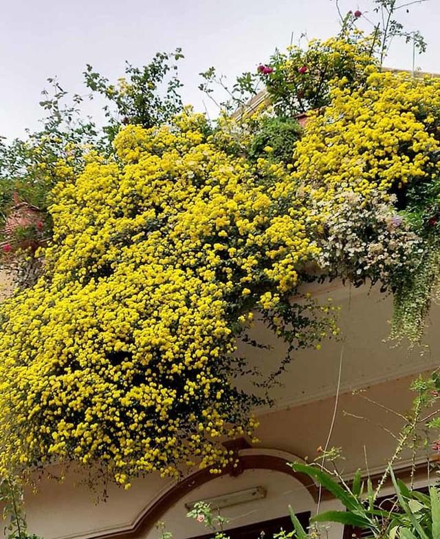 Hoa cúc dài 2 mét, hàng vạn bông rực vàng phủ kín 4 tầng nhà - Ảnh 4.