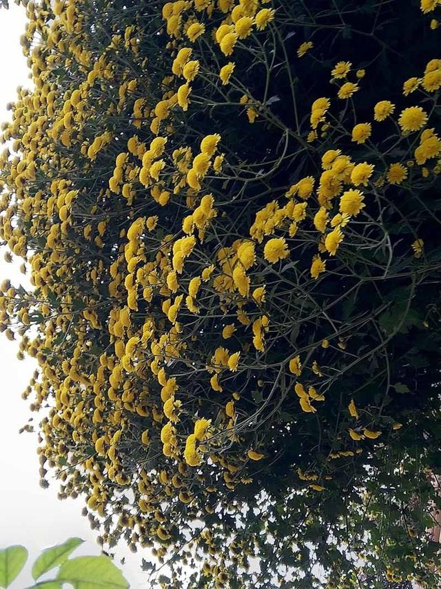 Hoa cúc dài 2 mét, hàng vạn bông rực vàng phủ kín 4 tầng nhà - Ảnh 6.