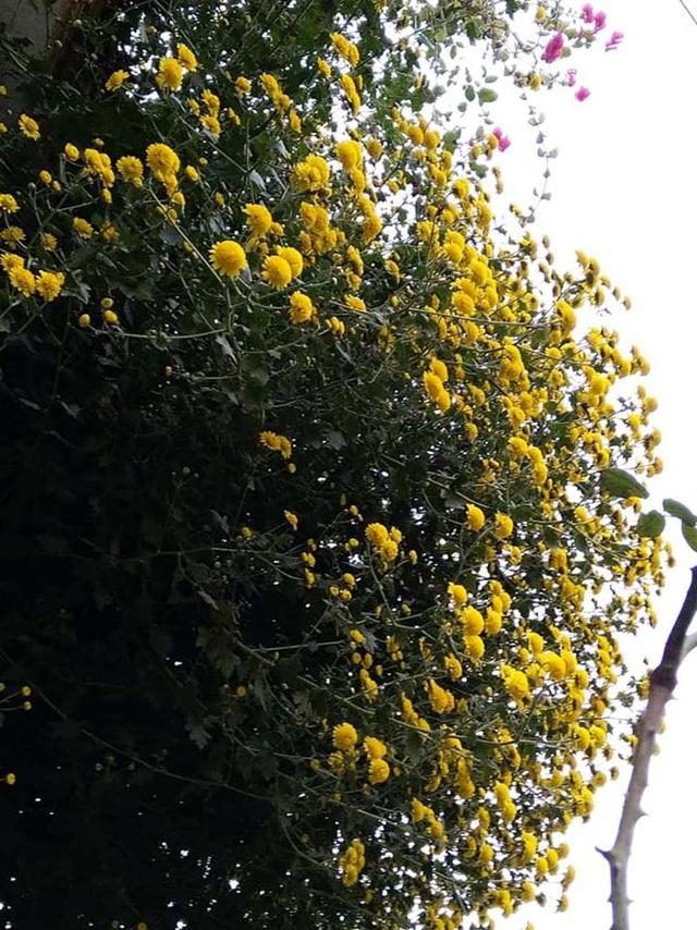 Hoa cúc dài 2 mét, hàng vạn bông rực vàng phủ kín 4 tầng nhà - Ảnh 7.