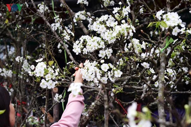 Ngỡ ngàng sắc hoa lê trắng tinh khôi trên đường phố Hà Nội - Ảnh 2.