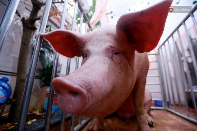 Hà Nội: Dùng kim khâu vào da của 17 ông lợn để thực hiện lễ rước và tế lợn trong đêm ở làng La Phù - Ảnh 2.