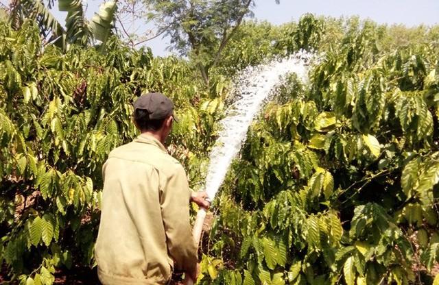 Nhiều chủ vườn lao đao vì cà phê mất mùa, rớt giá - Ảnh 1.