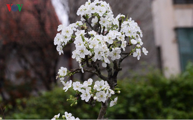 Ngỡ ngàng sắc hoa lê trắng tinh khôi trên đường phố Hà Nội - Ảnh 12.