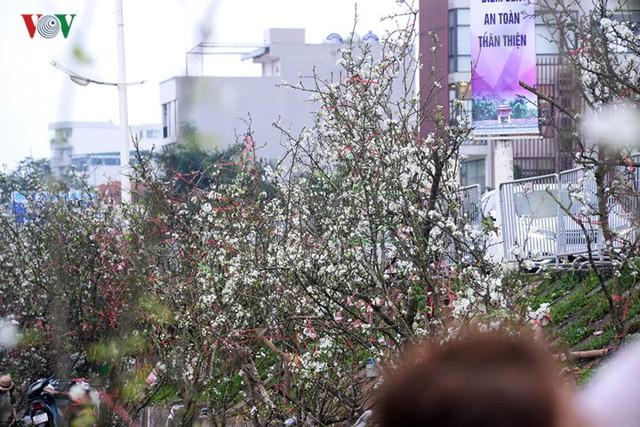 Ngỡ ngàng sắc hoa lê trắng tinh khôi trên đường phố Hà Nội - Ảnh 13.
