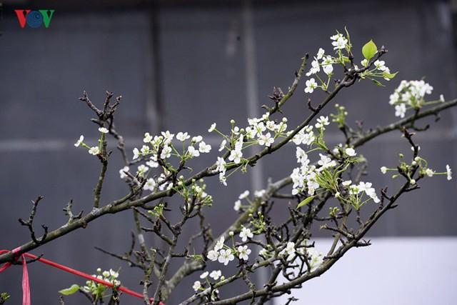 Ngỡ ngàng sắc hoa lê trắng tinh khôi trên đường phố Hà Nội - Ảnh 3.