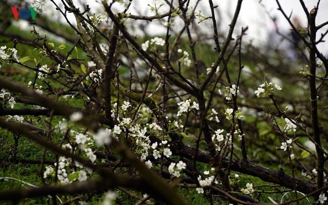 Ngỡ ngàng sắc hoa lê trắng tinh khôi trên đường phố Hà Nội - Ảnh 4.