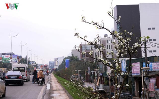 Ngỡ ngàng sắc hoa lê trắng tinh khôi trên đường phố Hà Nội - Ảnh 5.