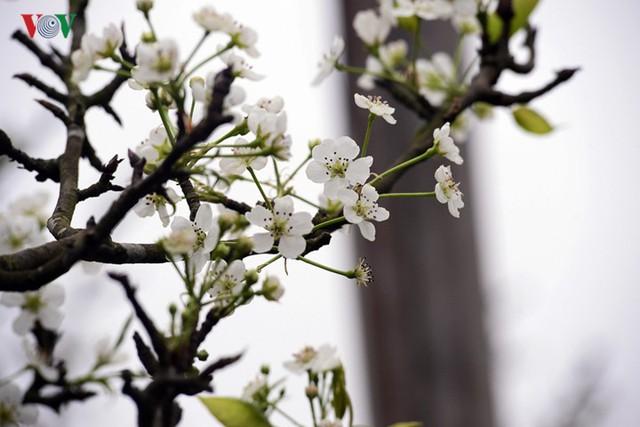 Ngỡ ngàng sắc hoa lê trắng tinh khôi trên đường phố Hà Nội - Ảnh 9.
