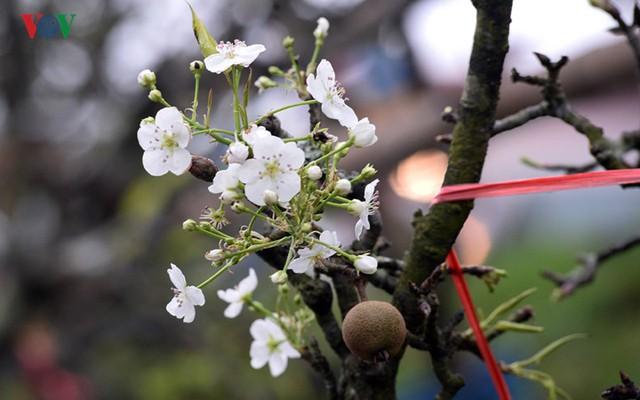 Ngỡ ngàng sắc hoa lê trắng tinh khôi trên đường phố Hà Nội - Ảnh 10.