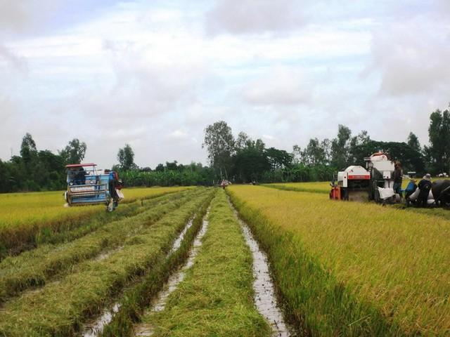 Điệp khúc lúa rớt giá trở lại: Làm gì để nông dân bớt khổ? - Ảnh 1.