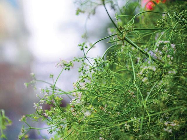 Tắm lá mùi già ngày 30 không chỉ là phong tục mà còn mang lại rất nhiều lợi ích cho sức khoẻ - Ảnh 1.