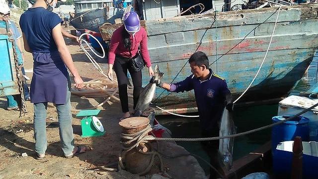 Tết vui của người nuôi cá bớp Lý Sơn - Ảnh 1.