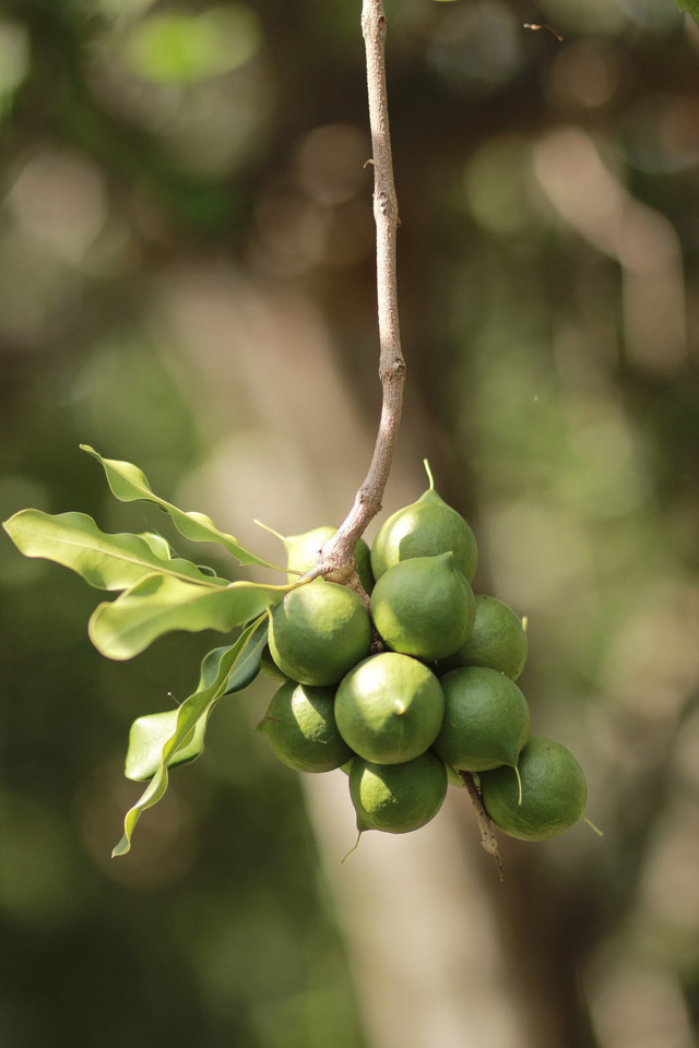 Sự thật về loại hạt nhiều gia đình bày trong khay mứt Tết: vì sao lại là đắt nhất thế giới - Ảnh 3.