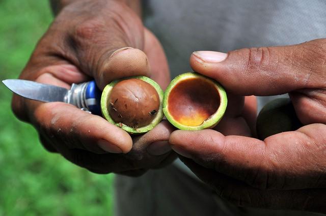 Sự thật về loại hạt nhiều gia đình bày trong khay mứt Tết: vì sao lại là đắt nhất thế giới - Ảnh 4.