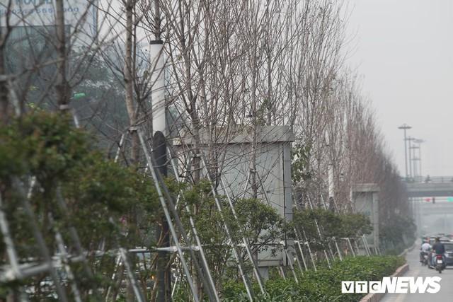 Cận cảnh hàng phong lá đỏ như chết khô khiến Chủ tịch Hà Nội lên tiếng - Ảnh 1.