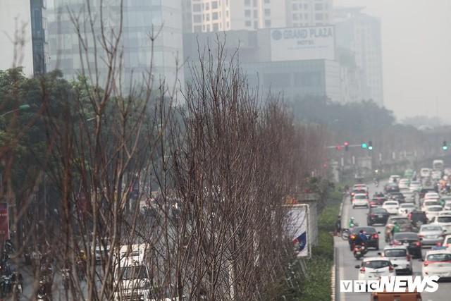 Cận cảnh hàng phong lá đỏ như chết khô khiến Chủ tịch Hà Nội lên tiếng - Ảnh 2.