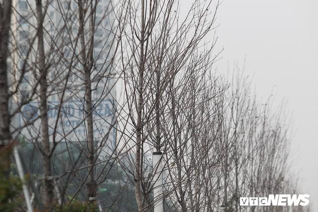 Cận cảnh hàng phong lá đỏ như chết khô khiến Chủ tịch Hà Nội lên tiếng - Ảnh 6.