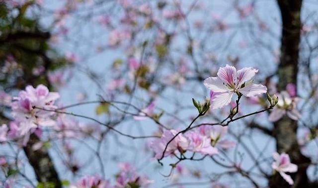 Ngắm hoa ban khoe sắc khắp phố phường Hà Nội - Ảnh 1.
