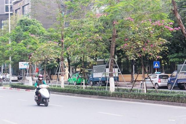 Ngắm hoa ban khoe sắc khắp phố phường Hà Nội - Ảnh 2.