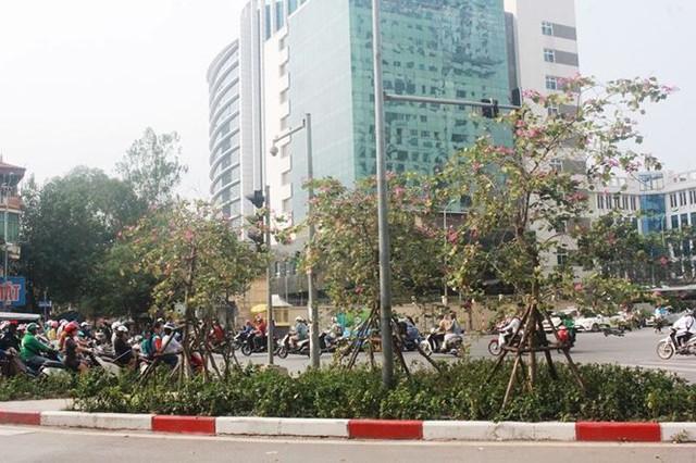 Ngắm hoa ban khoe sắc khắp phố phường Hà Nội - Ảnh 3.