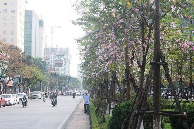 Ngắm hoa ban khoe sắc khắp phố phường Hà Nội - Ảnh 4.