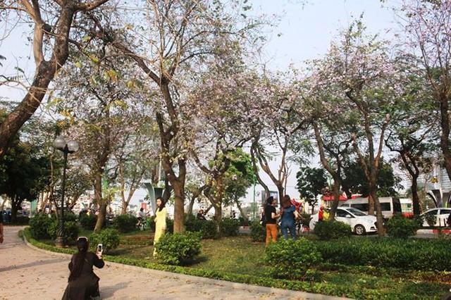 Ngắm hoa ban khoe sắc khắp phố phường Hà Nội - Ảnh 5.