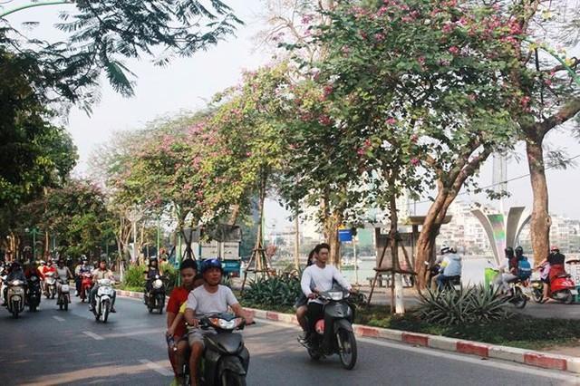 Ngắm hoa ban khoe sắc khắp phố phường Hà Nội - Ảnh 6.