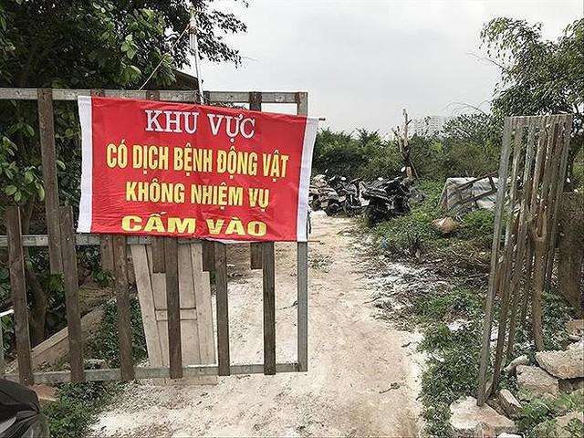 Dịch tả lợn châu Phi lan rộng: Vào ổ dịch đầu tiên tại Hà Nội - Ảnh 2.