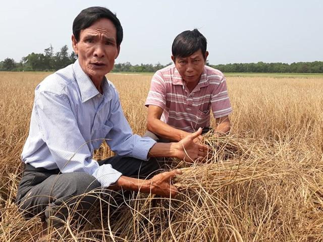 Hàng trăm ha lúa ở Huế khô cháy do thiếu nước tưới tiêu - Ảnh 1.