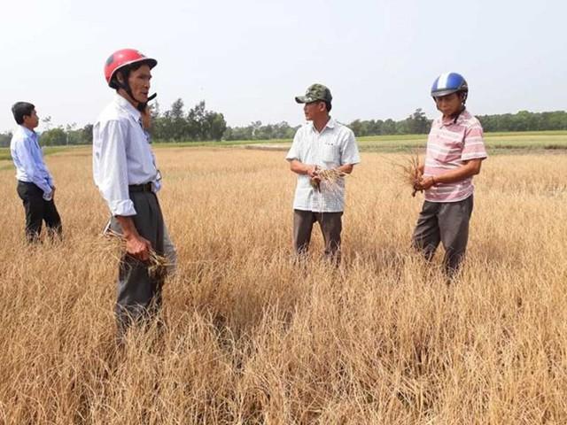 Hàng trăm ha lúa ở Huế khô cháy do thiếu nước tưới tiêu - Ảnh 2.