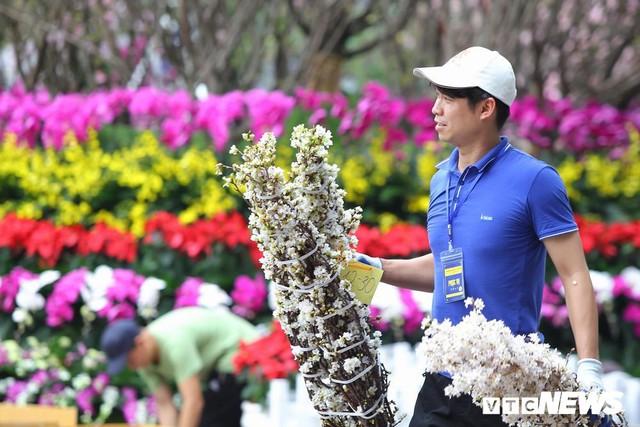 Ảnh: 40.000 cành hoa anh đào chuyển từ Nhật Bản tới Hà Nội - Ảnh 3.