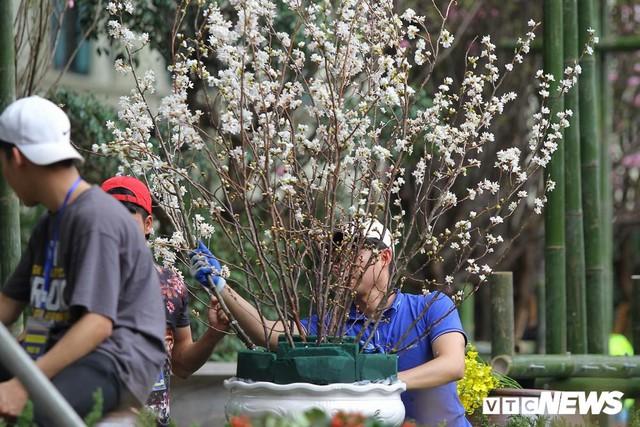 Ảnh: 40.000 cành hoa anh đào chuyển từ Nhật Bản tới Hà Nội - Ảnh 4.