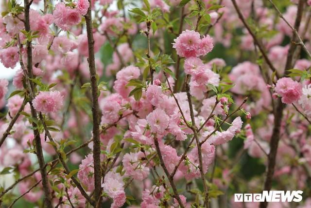 Ảnh: 40.000 cành hoa anh đào chuyển từ Nhật Bản tới Hà Nội - Ảnh 5.