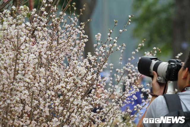 Ảnh: 40.000 cành hoa anh đào chuyển từ Nhật Bản tới Hà Nội - Ảnh 6.